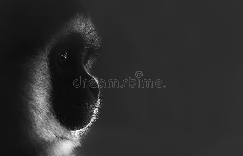 Thoughtful monkey profile portrait stock photo