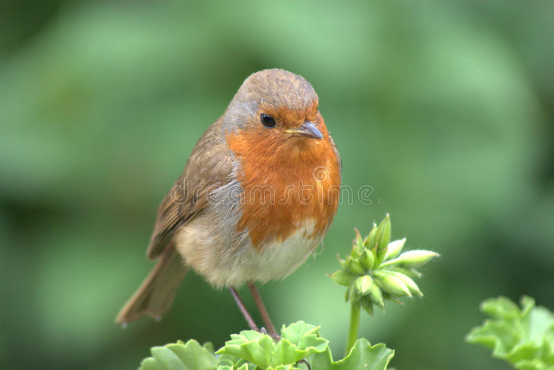 Download Thoughtful Robin On A Geranium Stock Photo - Image of perched, redbreast: 14983790
