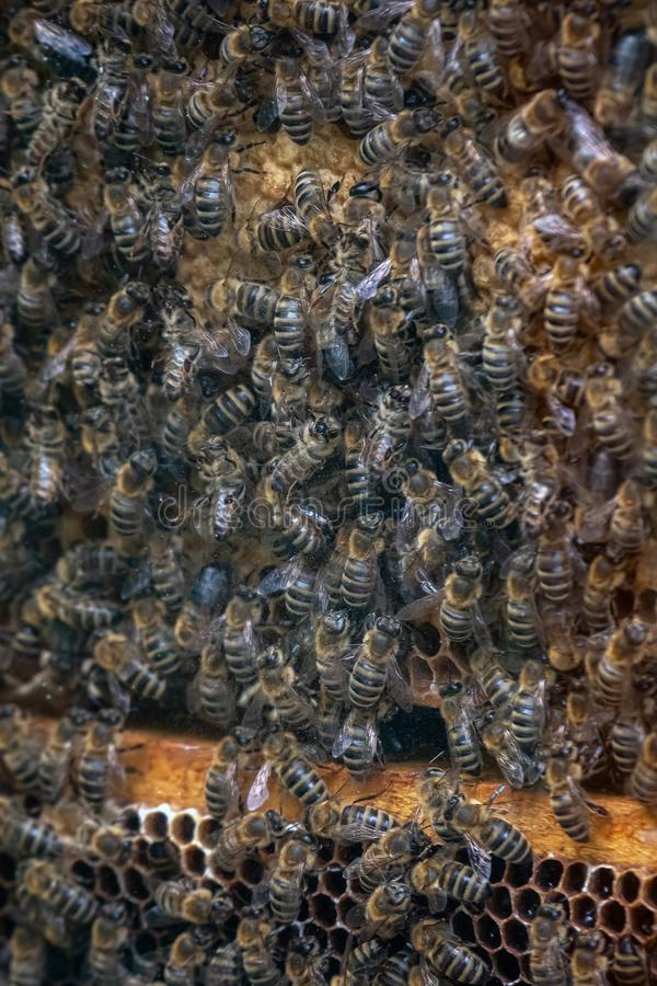 Thousands of bees on honeycombs with honey. Bees collecting nectar and putting into hexagonal cells after returning to beehive stock photo