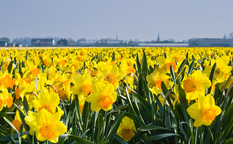 Thousands of daffodils in spring sun royalty free stock photos