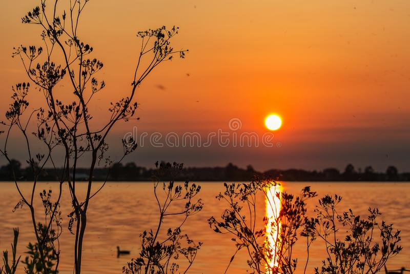 Thousands of dancing mosquitoes around the plants during sunset at Lake Zoetermeerse plas in The Netherlands. Thousands of dancing mosquitoes around the plants royalty free stock images
