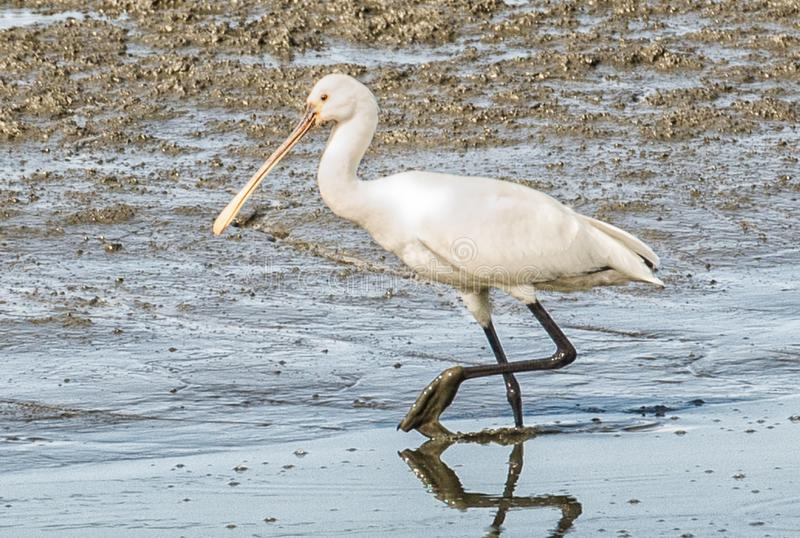 Common Spoonbill looking for food in a shallow pond. stock images