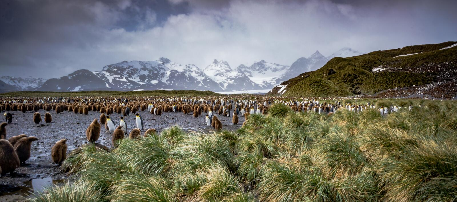 Thousands of king penguin adults as well as oakum boys, year old animals. In South Georgia royalty free stock photos