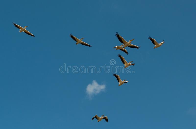 A flock of pelicans on a background of blue sky and white clouds stock image
