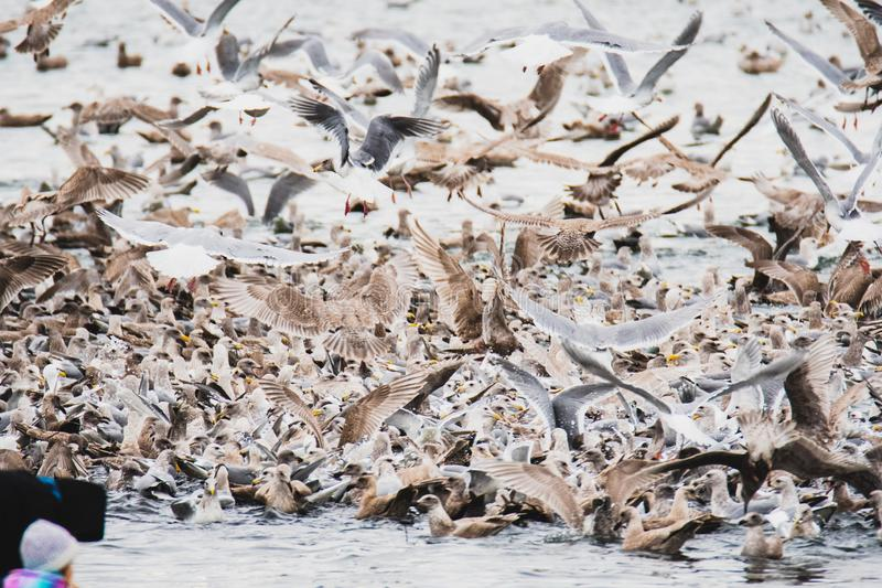 Thousands of  seagull flocking together on the sea.  stock photo