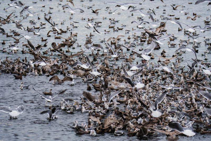Thousands of  seagull flocking together on the sea.  royalty free stock images