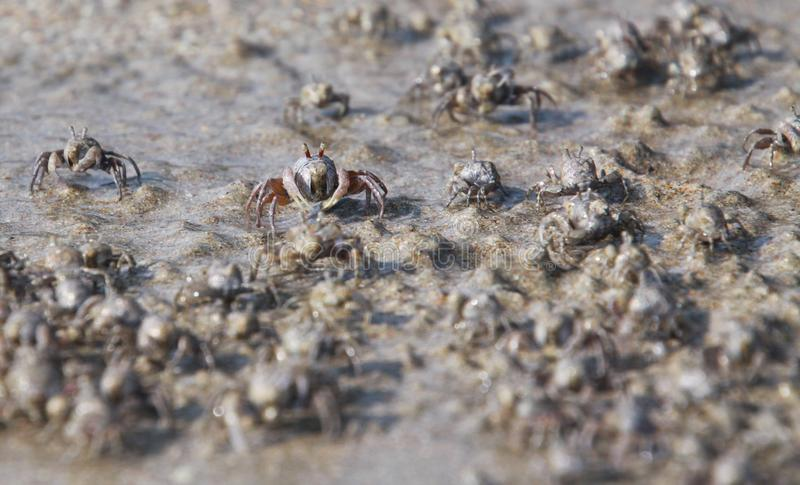 Thousands of tiny sand bubbler crabs flock from the beach into water on tropical island Ko Lanta stock image