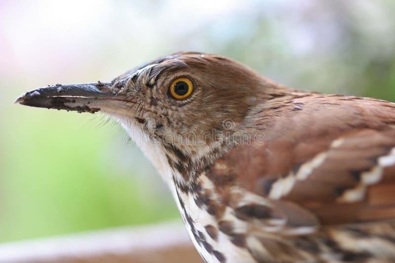 - thrasher brown patrzy obraz stock