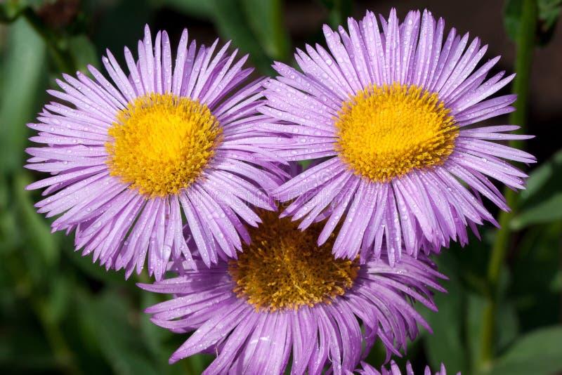 Thre växer den härliga aster med violetta kronblad i en sommarträdgård Levande natur royaltyfria bilder