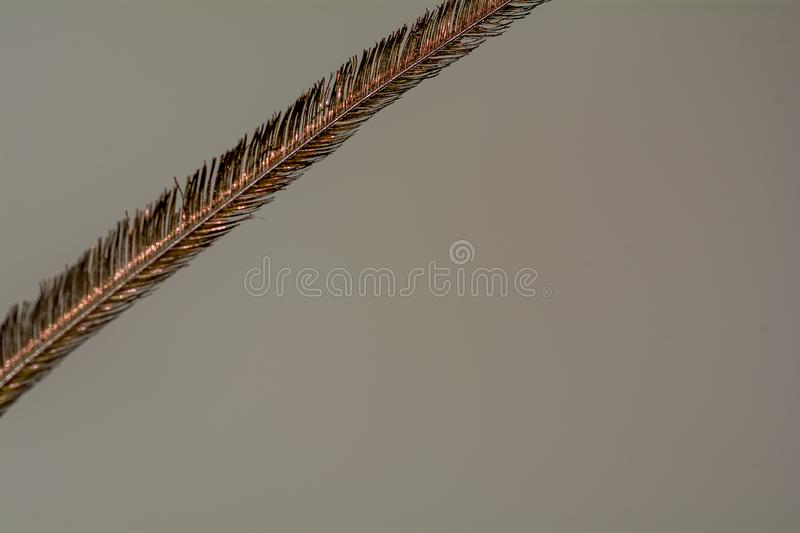 Thread / Hair / Single strand of Peacock Feather royalty free stock photo