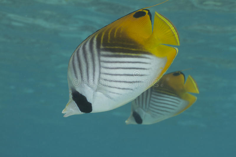 Threadfin Butterflyfish photographie stock