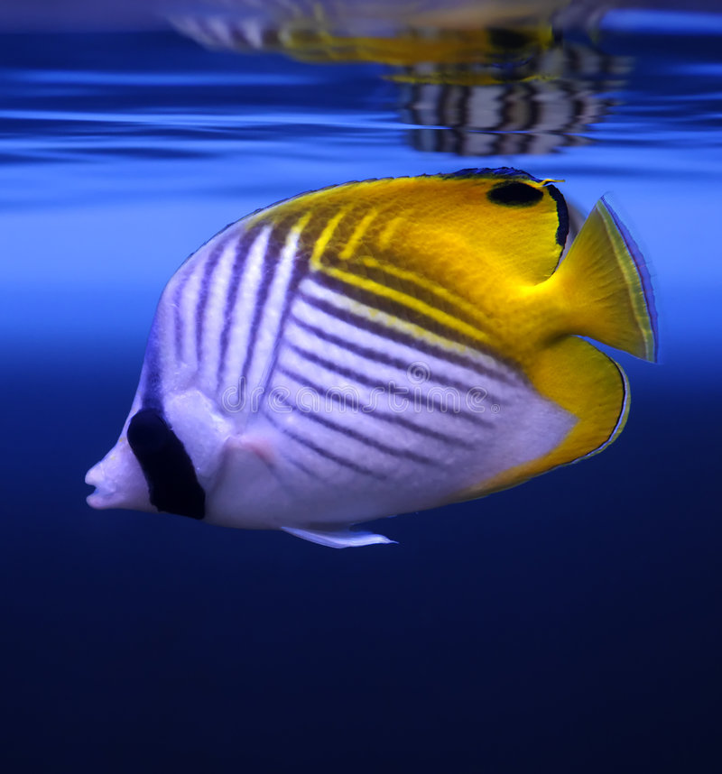 Threadfin Butterflyfish fotos de stock royalty free