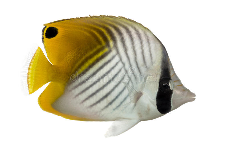 Threadfin Butterflyfish, Chaetodon auriga. Side view of a Threadfin Butterflyfish, Chaetodon auriga, isolated on white stock photos