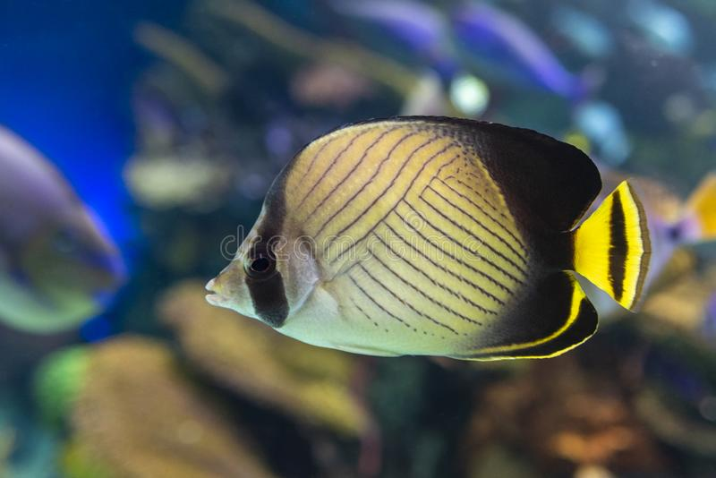 The threadfin butterflyfish Chaetodon auriga is a species of butterflyfish family Chaetodontidae, coral fish. The threadfin butterflyfish Chaetodon auriga is a stock images