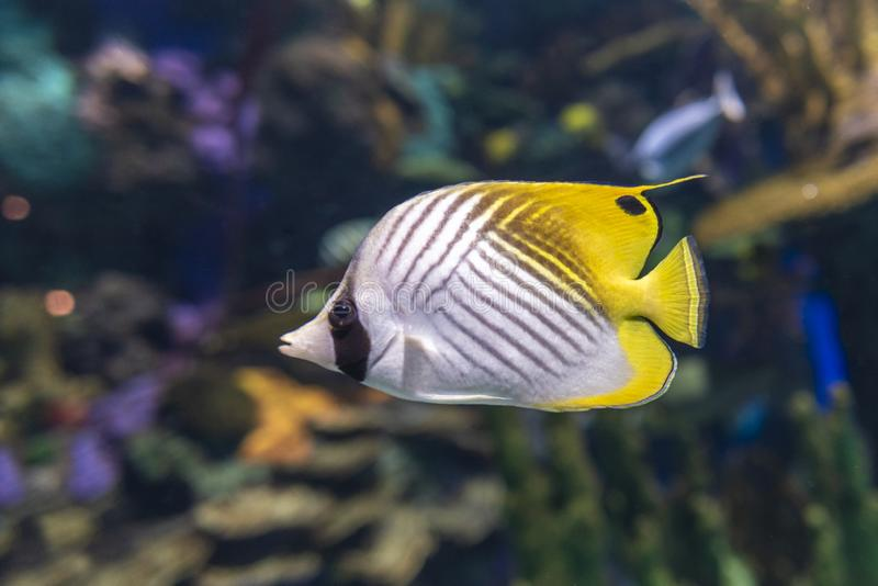 The threadfin butterflyfish Chaetodon auriga is a species of butterflyfish family Chaetodontidae. Close up royalty free stock images