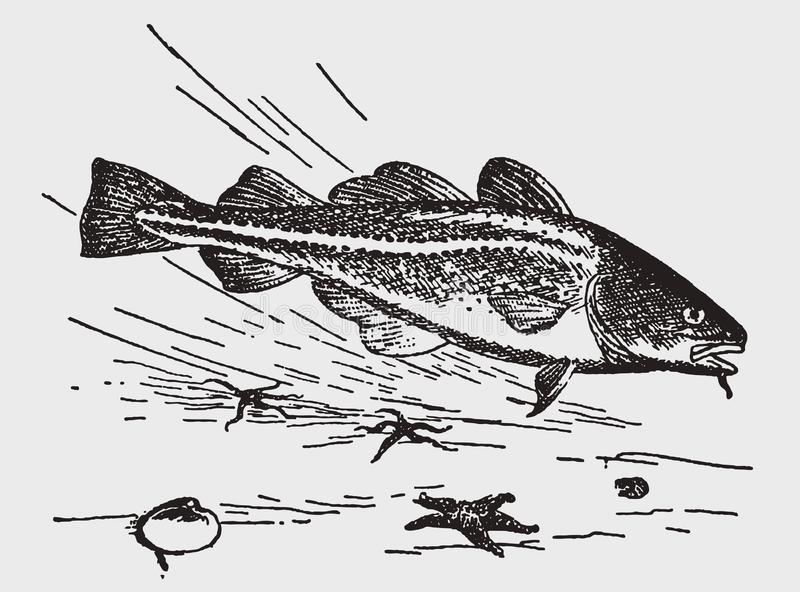 Threatened atlantic cod gadus morhua swimming above starfishes and seashells. Illustration after a historic engraving from the early 20th century vector illustration