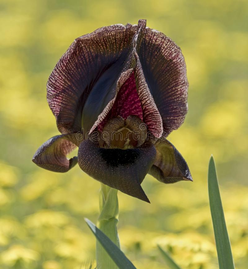 Threatened Wild Black Iris at Tel Arad in Israel royalty free stock photography