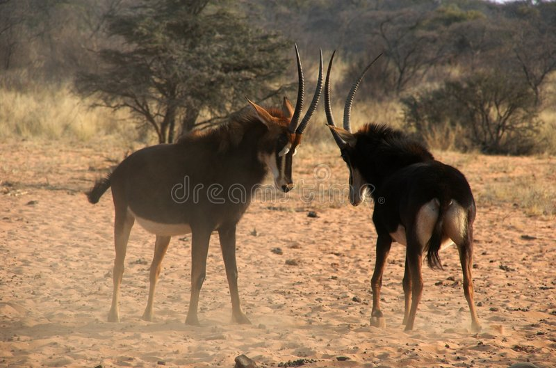 Threating sable antelopes. Just before a fight stock photos