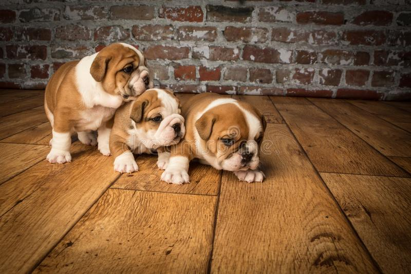 Three Cute brown wrinkled bulldog puppies in the studio, sitting and facing right royalty free stock photography