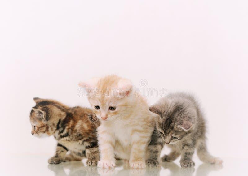 Three adorable furry kittens on white background royalty free stock photos
