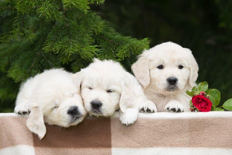 Three adorable golden retriever puppies stock photos