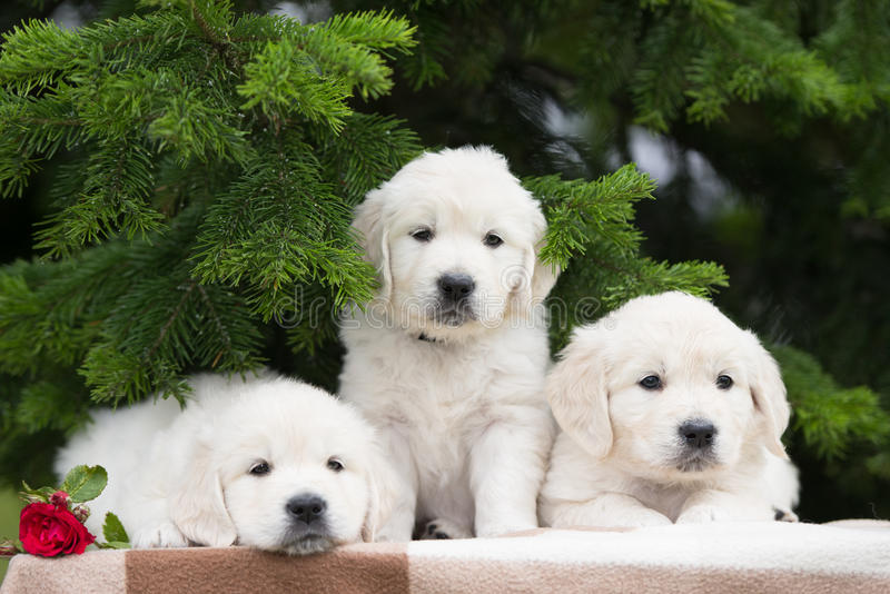 Three adorable golden retriever puppies stock photography