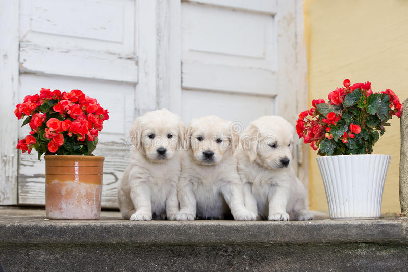 Three adorable golden retriever puppies stock image