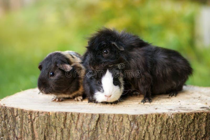 Three adorable guinea pigs posing outdoors royalty free stock photos