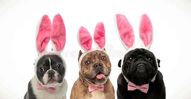Three adorable little dogs wearing bunny ears for easter. On white background stock photo