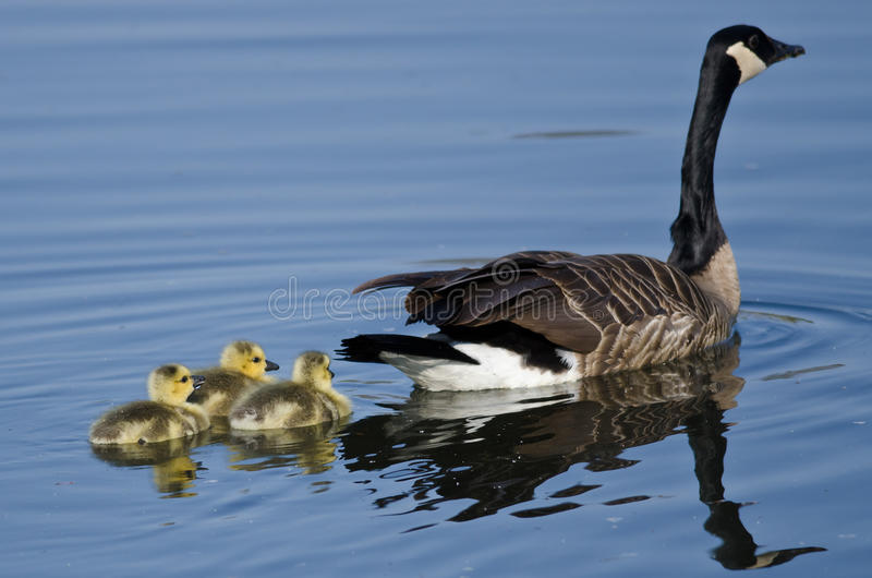 Three Adorable Little Goslings Swimming Behind Mom stock photo