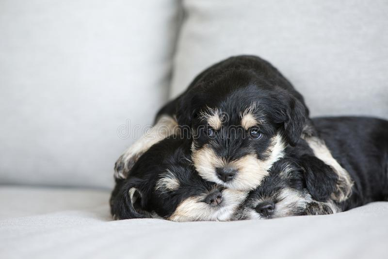 Schnauzer puppies. Three adorable miniature schnauzer puppies hugging and sleeping royalty free stock photos