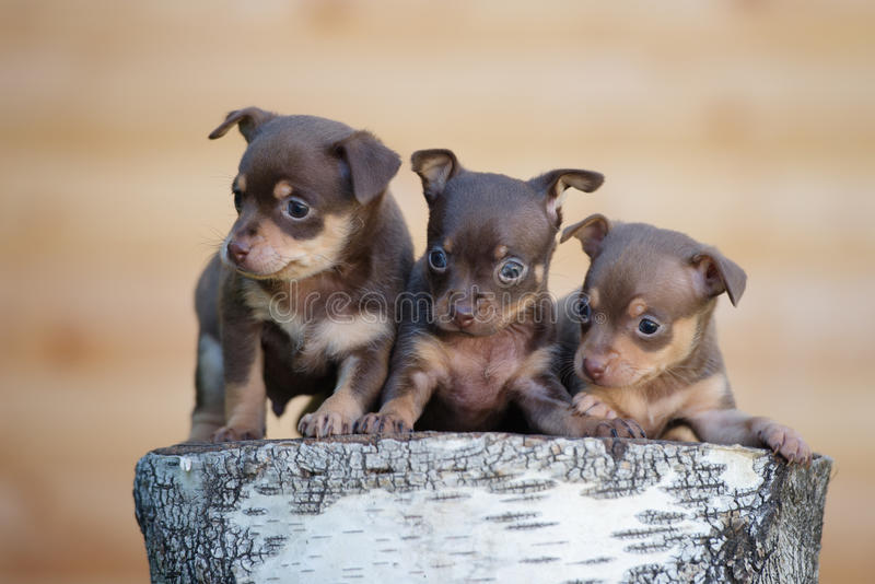 Three adorable puppies outdoors stock photography