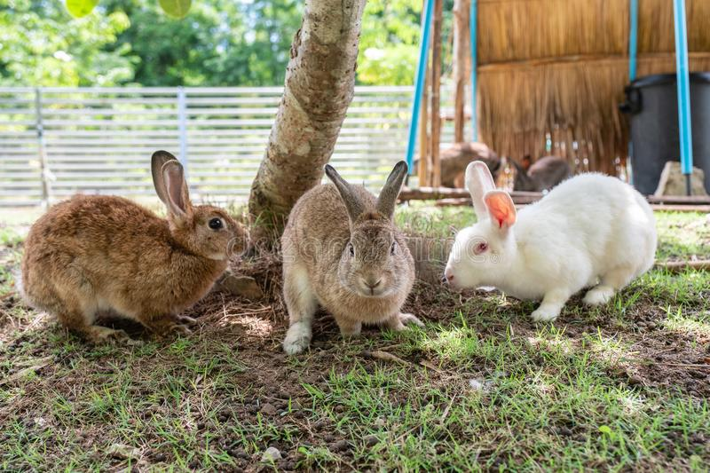 Three adorable rabbit friendly standing on lawn royalty free stock photos