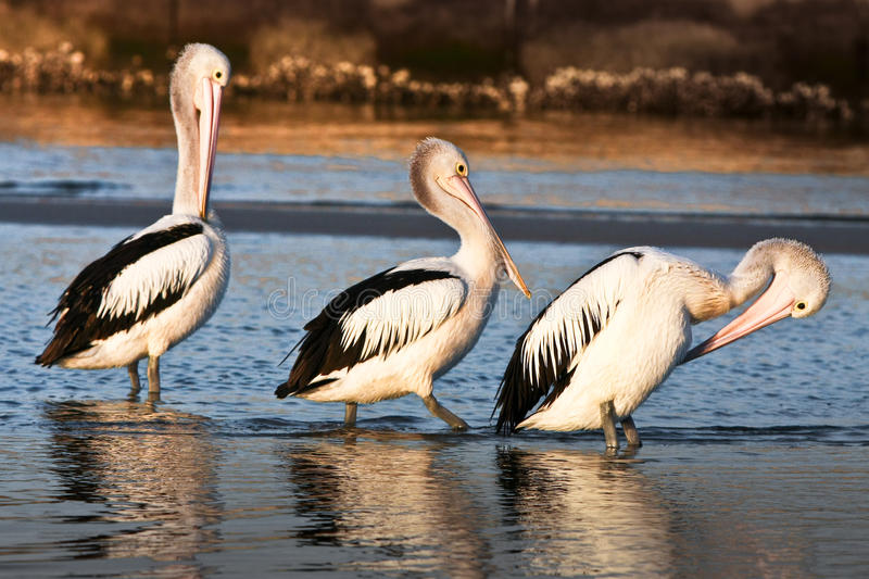 Download Three Adult Australian Pelicans On The Beach Stock Photos - Image: 24098873