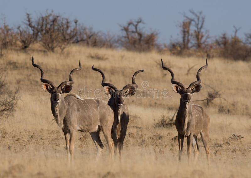 Download Three Adult Kudu Bulls Royalty Free Stock Photography - Image: 20913747