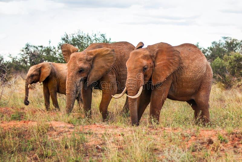 Three African bush elephants Loxodonta africana, walking on sa. Vanna with some trees in background. Amboseli national park, Kenya royalty free stock photo