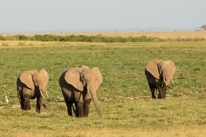 Three African Elephants leaving the marsh land of Amboseli in Kenya royalty free stock photography