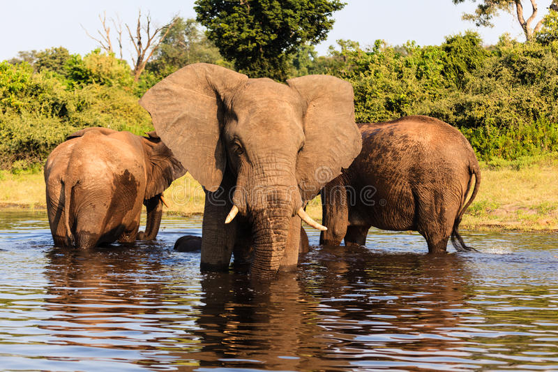 Three African elephants stand in river in Chobe National Park, Botswana. Africa stock photos