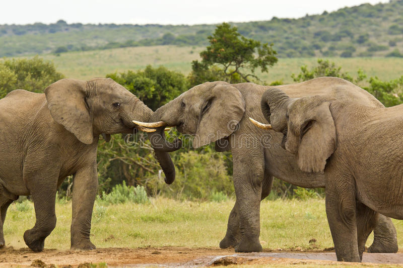 Three African elephants at a water hole royalty free stock images