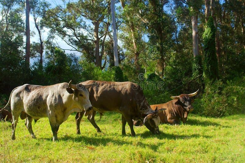Three African Nguni bulls royalty free stock image