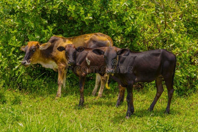 Three African Nguni bulls on pasture. Shot in Vergelegen estate area, Hottentots Holland Mountains, near Somerset West, Western stock image