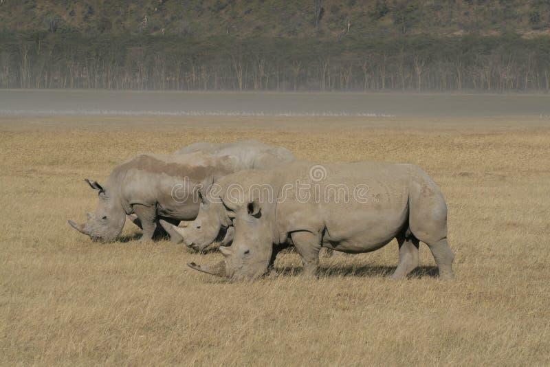 Three African White Rhino, square-lipped rhinoceros, Lake Nakuru, Kenya. African White Rhino, square-lipped rhinoceros, Lake Nakuru, Kenya stock photography