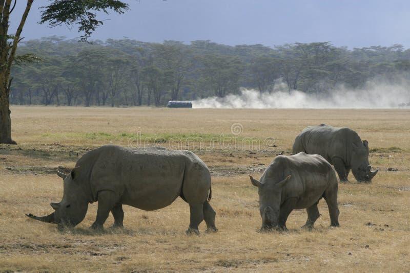 Three African White Rhino, square-lipped rhinoceros, Lake Nakuru, Kenya. African White Rhino, square-lipped rhinoceros, Lake Nakuru, Kenya stock photo