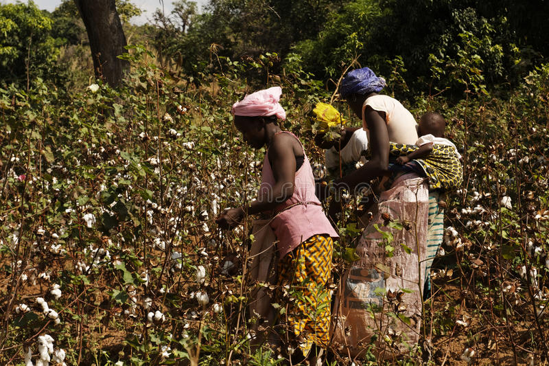 Three african woman harvesting some cotton in a field royalty free stock images