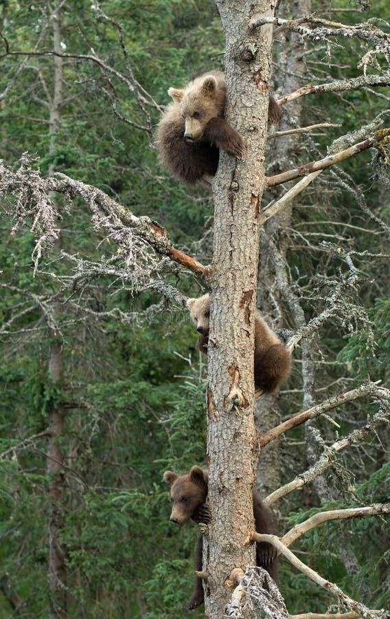Three Alaskan brown bear cubs stock image