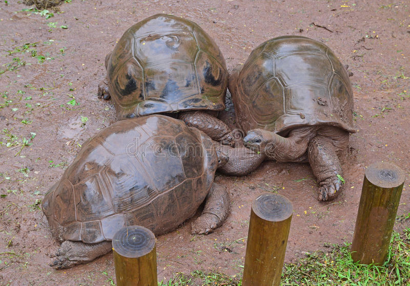 Three Aldabra giant tortoises coming together on a rainy day royalty free stock image