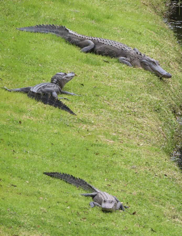 Three alligators on green grass by lake royalty free stock images