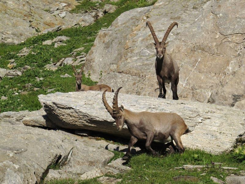 Three alpine ibex. Rare wild animals stock images