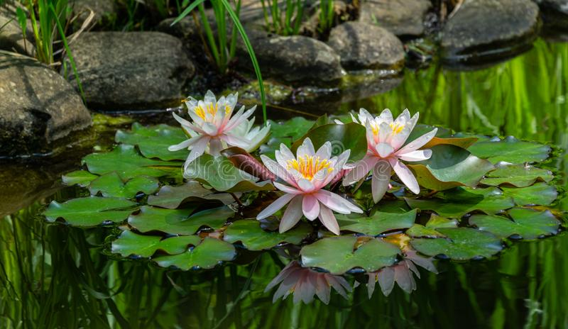 Three amazing bright pink water lilies or lotus flowers Marliacea Rosea in old pond. Nympheas are reflected in dark water. Summer flower landscape, fresh stock photos