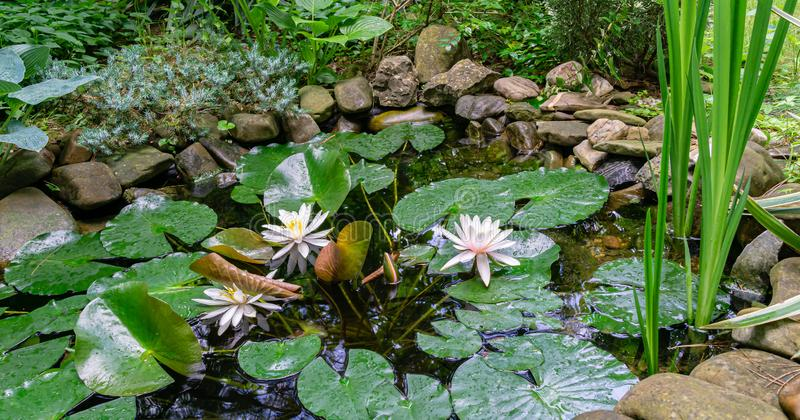 Three amazing bright water lilies or lotus flowers Marliacea Rosea in garden pond with stones on shore. Nympheas with big wet leaves. Landscape after rain stock photo